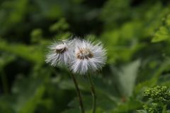 The couple of dandelions together royalty free stock photo