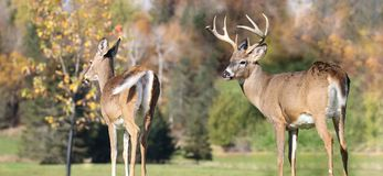 Couple of deer during fall Stock Photo