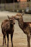 Couple deer  at Kasuga taisha shrine , Nara in Japan Stock Image