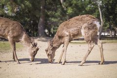 A couple of deer in Nara Park royalty free stock photo