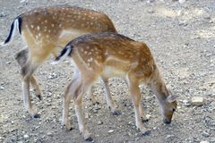 A couple of deer royalty free stock photography