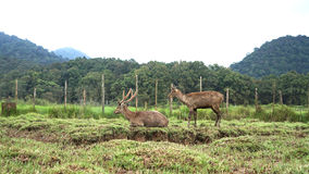 A couple of deer in wildlife Stock Photo