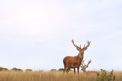 Couple of deers in the field Royalty Free Stock Photos