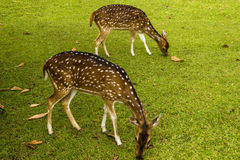 A couple of deers on the grass. Deers on the grass in Indonesian town Bogor Royalty Free Stock Photos