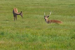 Couple of deers peacefully resting in the steppe. Shot made in r. Eservation national park Askania Nova, Ukraine Royalty Free Stock Photos
