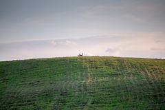 Couple of deers standing on the hill Stock Image