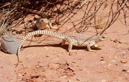 Couple of Desert Iguana Royalty Free Stock Photo