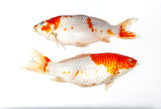 Couple of Died Koi Fish on White Background, Isolated.  Royalty Free Stock Photography