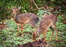 A couple of dik-dik antelopes, in Tanzania, Africa Royalty Free Stock Images