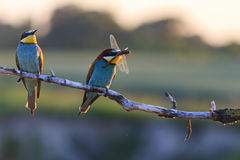 Couple dines colored birds at sunset Royalty Free Stock Photography