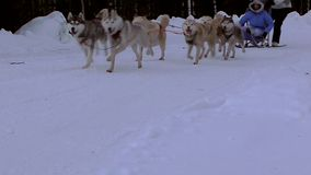 Couple dog breed Hasky in harness racing. stock video