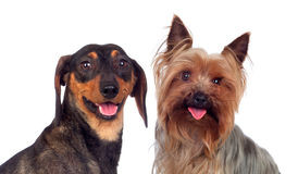 Couple of dog, a dachshund and yorkshire Stock Photos