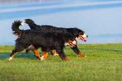 Couple dog run Royalty Free Stock Images