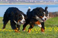 Couple dog run Stock Image