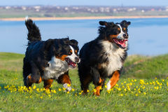 Couple dog run Royalty Free Stock Photos