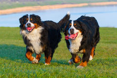 Couple dog run Stock Photography