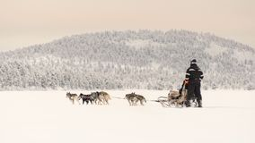 Couple dog sledding over a frozen lake near to the forest beneath a pink tinted sky. Finland, Inari - Jan 2019: Couple dog sledding over a frozen lake near to stock photos