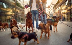 Couple dog walker in the street with dogs. Couple dog walker in the street with lots of dogs stock photo