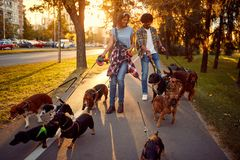 Dog walker walking with a group dogs in the park. Couple dog walker walking with a group dogs in the park stock photography