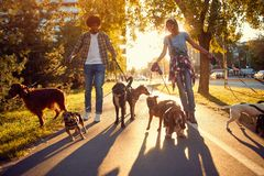 Couple Dog walker walks dogs and enjoying outdoors. Happy couple dog walker walks dogs and enjoying outdoors royalty free stock photography