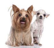 Couple of dog : Yorkshire Terrier and chihuahua Stock Photos