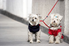Couple dogs Royalty Free Stock Images