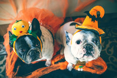Couple of dogs with halloween costume Royalty Free Stock Images