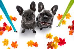 Couple of dogs with leash waiting for a walk stock photos