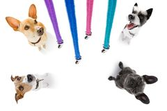 Couple of dogs with leash waiting for a walk royalty free stock image