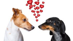 Couple of dogs  in love. Couple  of dogs in love , looking each other in the eyes, with passion, isolated on white background Stock Images
