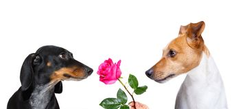 Couple of dogs  in love. Couple  of dogs in love , looking each other in the eyes, with passion , pink red rose in the middle, isolated on white background Royalty Free Stock Photography