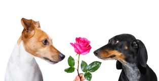 Couple of dogs  in love. Couple  of dogs in love , looking each other in the eyes, with passion , pink red rose in the middle, isolated on white background Stock Photos
