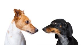 Couple of dogs  in love. Couple  of dogs in love , looking each other in the eyes, with passion, isolated on white background Stock Photos