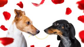 Couple of dogs in love. Looking each other in the eyes, with passion, isolated on white background stock image