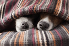 Couple of dogs. In love sleeping together under the blanket in bed Stock Image