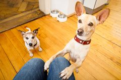 Hungry dogs with food bowl. Couple of dogs ready for a walk with owner or hungry ,begging on lap , inside their home Royalty Free Stock Images