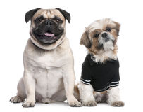 Couple of dogs : Shih Tzu dressed-up and a pug. In front of a white background royalty free stock images