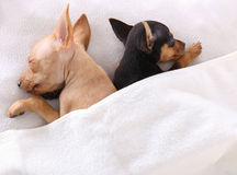 Couple of dogs sleeping together under the blanket Royalty Free Stock Photography