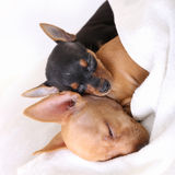 Couple of dogs sleeping together Stock Photo