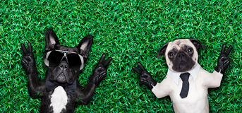 Couple of dogs. Couple of two cool dogs on grass or meadow in the park with peace or victory fingers Stock Photos
