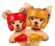 Couple of dogs wearing boxing helmet and gloves Royalty Free Stock Photo