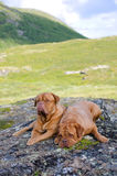 Couple of Dogue De Bordeaux in Norwegian mountains Royalty Free Stock Photography