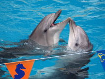 Couple of dolphins. Two dolphins playing in water Royalty Free Stock Image