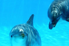 Couple Of Dolphins. Ocean Life - Couple of dolphins playing Royalty Free Stock Photos
