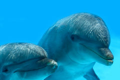 Couple Of Dolphins. Ocean Life - Couple Of Dolphins watching the camera Stock Photography