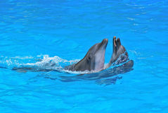 Couple of dolphins. Dancing  in dolphinarium Stock Photo