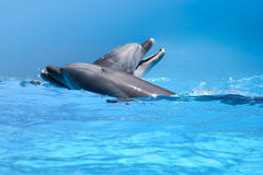 Couple Of Dolphins In The Blue Water Stock Image