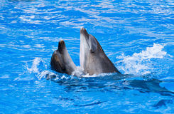 Couple of dolphins dancing Royalty Free Stock Images