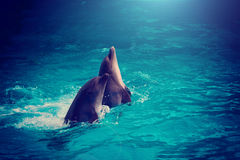 Couple dolphins. Swimming in water in the night Royalty Free Stock Images