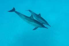 Couple of dolphins in tropical sea. Underwater photo Royalty Free Stock Images